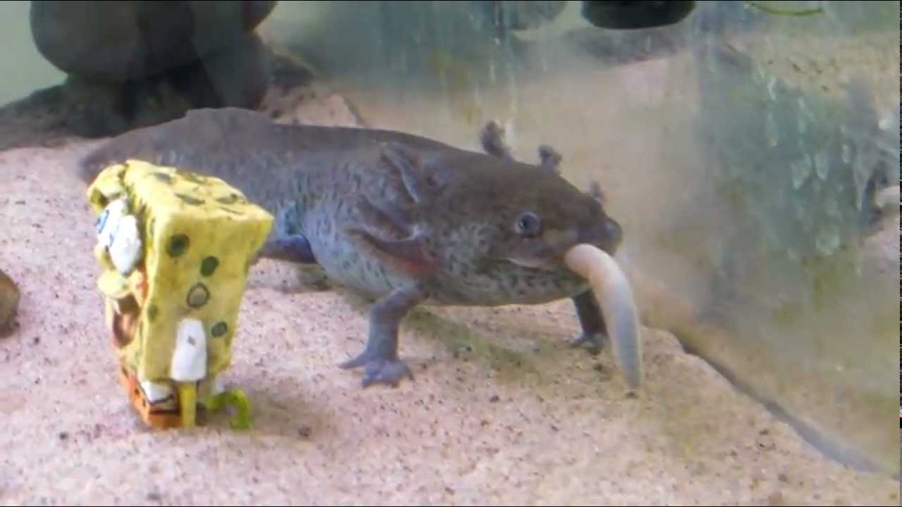 what are axolotls diets