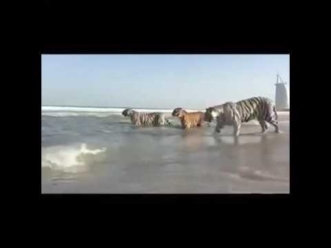 Tigers spotted swimming near the Burj Al Arab Dubai