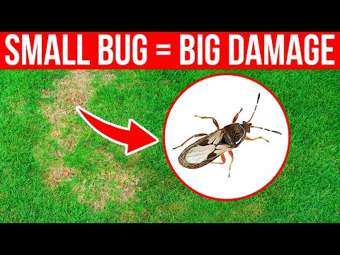 How To Identify And Control Chinch Bugs In The Lawn - Brown Spots