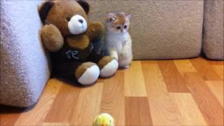 Котенок британской золотой шиншиллы