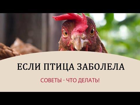 БОЛЕЗНИ КУР - советы! Что делать, когда заболела курица? \\ Советы универсальны и для других птиц!