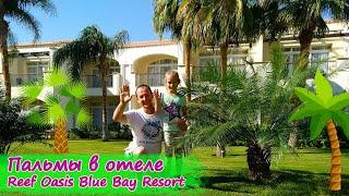 Пальмы Египта в отеле Reef Oasis Blue Bay Resort 5
