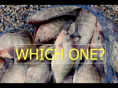 LET'S TALK BEST FISH FOR YOUR AQUAPONICS SYSTEM