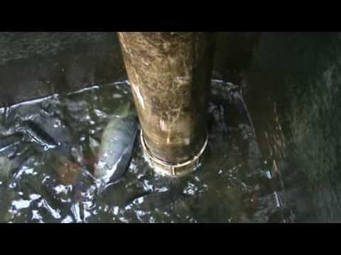 estanque de mojarra y cachama doovi