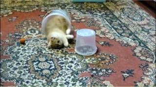 Котёнок с вёдрами Шотландский хайленд страйт