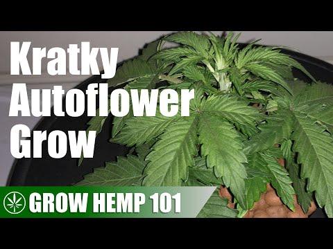 Kratky Autoflower Grow from Seed to Harvest