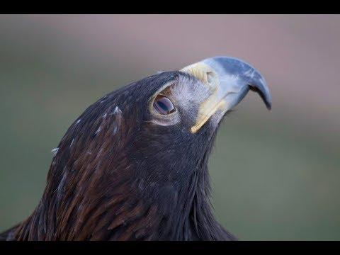 Bald eagle - Golden eagle comparison
