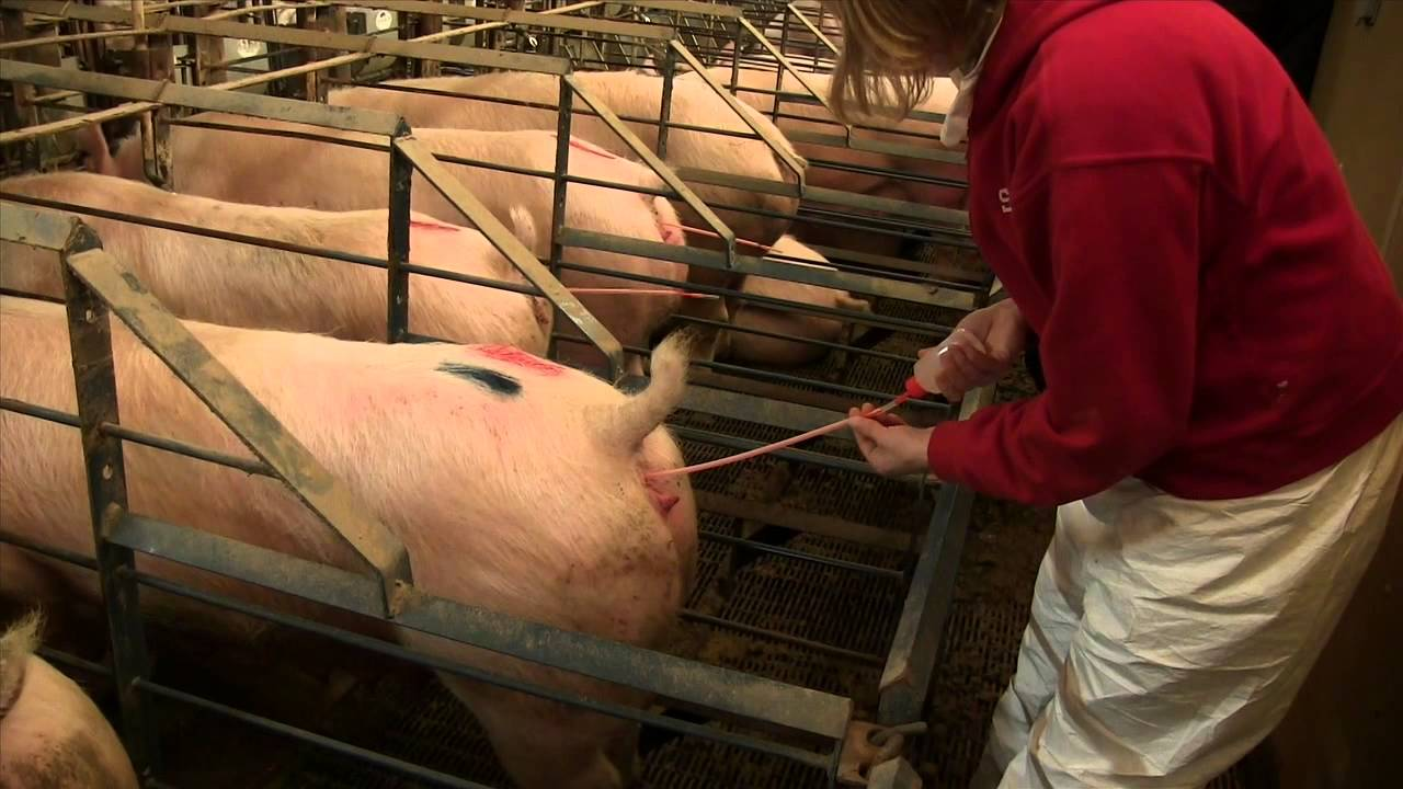 Post-Cervical Artificial Insemination in Sows AS-623-WV ...