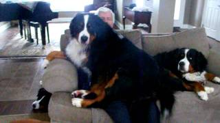 Bernese Mountain dog Coco thinks she is a lap dog