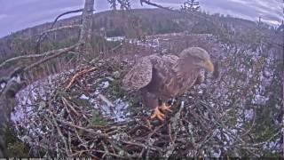 2016/12/02 16h15m strange eagle brought a big spurce to the nest