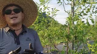 사과대추재배법  싱싱 사과대추 채승기회장님