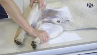 Урок 19. Укладка животного при рентгенографии пояса задних конечностей. Коленный сустав