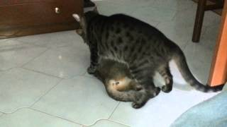 xxx cat lovers vm18 trattamento calore by Rudy