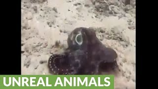 Shape-shifting octopus amazingly changes color