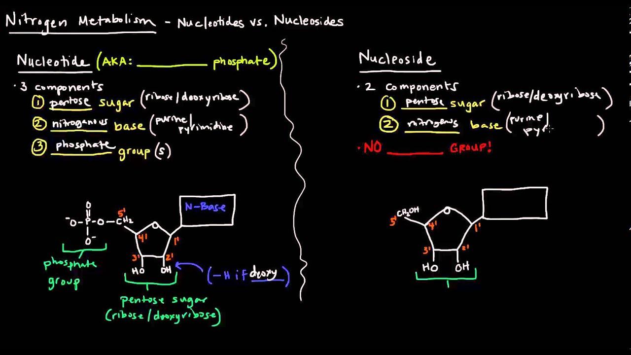 medium resolution of nucleotides vs nucleosides