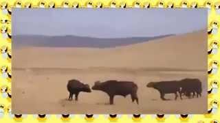 Львиный прайд против стада буйволов! Смертельные схватки животных