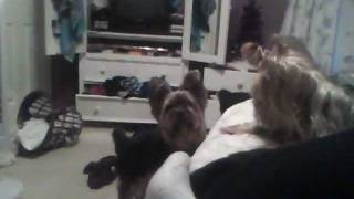 Yorkshire Terrier Humping Stuffed Animals