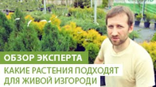 видео Растения для живой изгороди