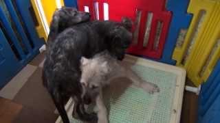アイリッシュウルフハウンドの子犬です。 仲良くガウガウ遊んで楽しく過...