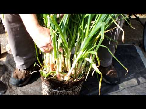 HGV How to grow Shallots in pots, Green Onions in buckets  Plant 4 harvest 25.  Start to finish