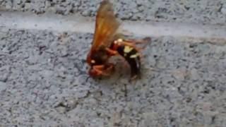 Exterminating a Giant Hornet