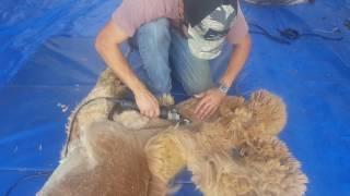 Alpaca shearing at Pacabella