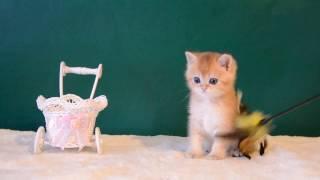 г.Псков продажа шотландских котят