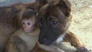 Chinese villager adopts injured baby monkey