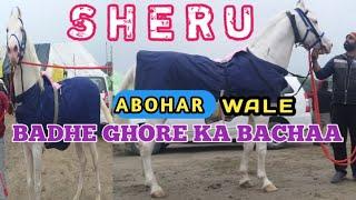 SHERU STALLION   NUKRA HORSE   ABOHAR WALE BADHE GHORE KA BACHAA   MAGHI MELA 2020