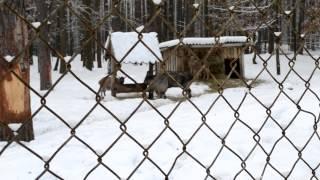 Орловское полесье, винторогий козёл