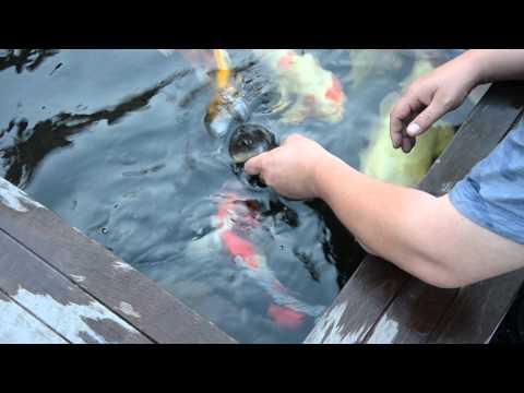 Hand Feeding Koi And Sturgeon / Koi En Steur Met De Hand Voeren