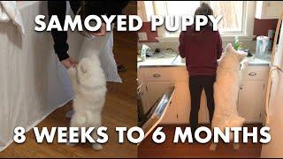 Samoyed Puppy 8Week to 6Month Transformation | Fluffy the Samoyed