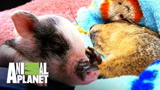 Pequeñas mascotas, grandes accidentes | Dr. Jeff, Veterinario | Animal Planet