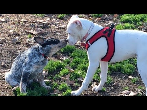 Husky & Border Collie Protect Queensland Heeler Puppy from Aggressive Dog