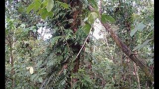 mikat burung di hutan ini banyak banget burung nya hanya pakai mp3 bro