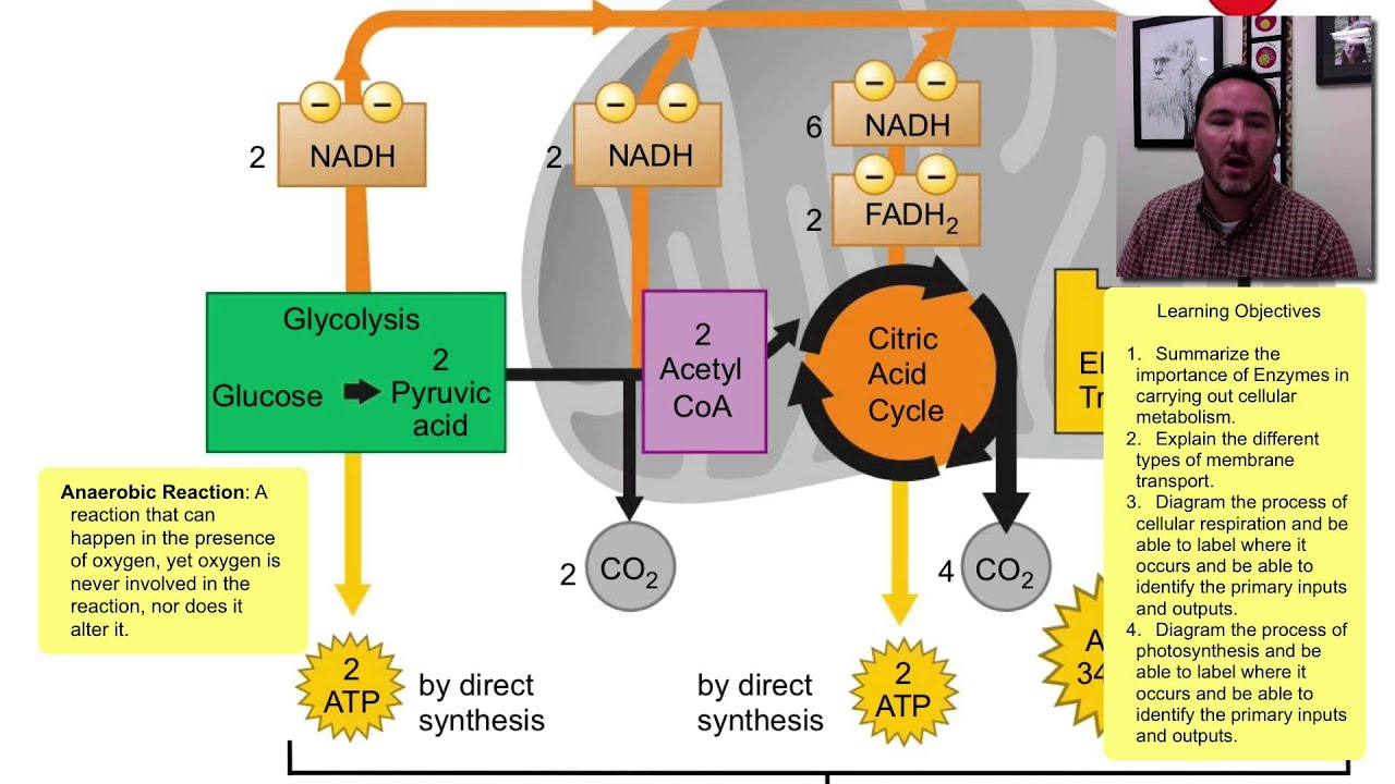 diagram with inputs and outputs of photosynthesis process interior brain metabolism cellular respiration youtube