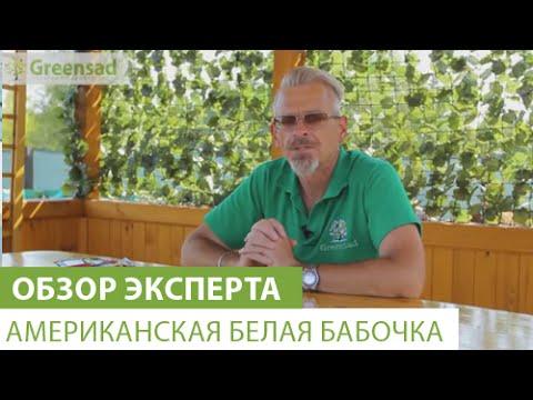 Шелковица - полезные свойства или чем полезна шелковица