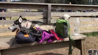 オーストラリアンシェパードのリラが、隣りの小型犬用ランで挑発してく...