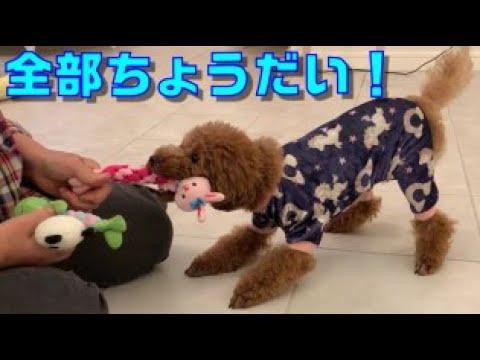 おもちゃが全部欲しい犬【トイプードル】