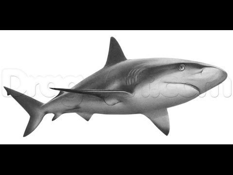 How to Draw a Shark Step by step - YouTube