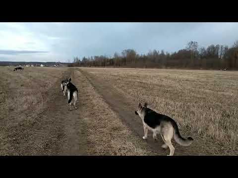 """Восточноевропейская овчарка. Отбор. И что за зверь такой - """"рабочая собака""""."""