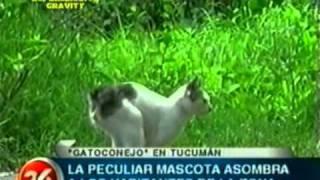 El misterioso Gato-conejo de Tucuman