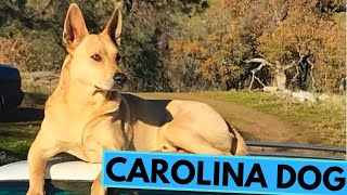 Carolina Dog  American Dingo  TOP 10 Interesting Facts