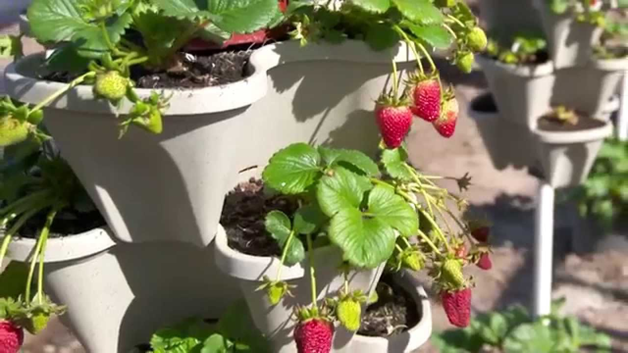 Strawberry Garden Ideas 20 creative and frugal growing tips container ideas and recipes for strawberries you can Grow Strawberries Almost Anywhere Planting Ideas Youtube