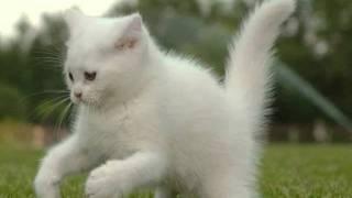 Я пушистый беленький котенок.wmv