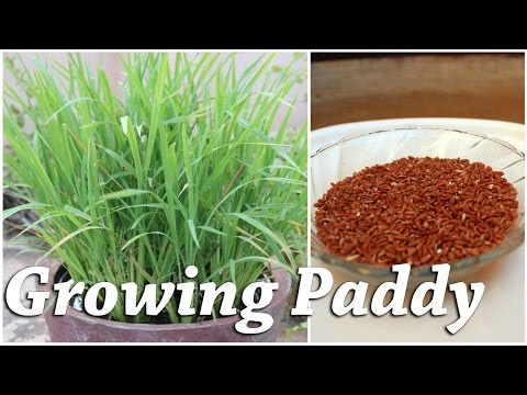 Growing Rice (Paddy) in a Container – Terrace Garden