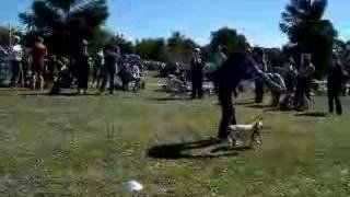 Pug Olympics Weave Event