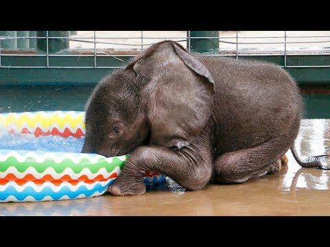 Baby Elephant LOVES First Pool Experience