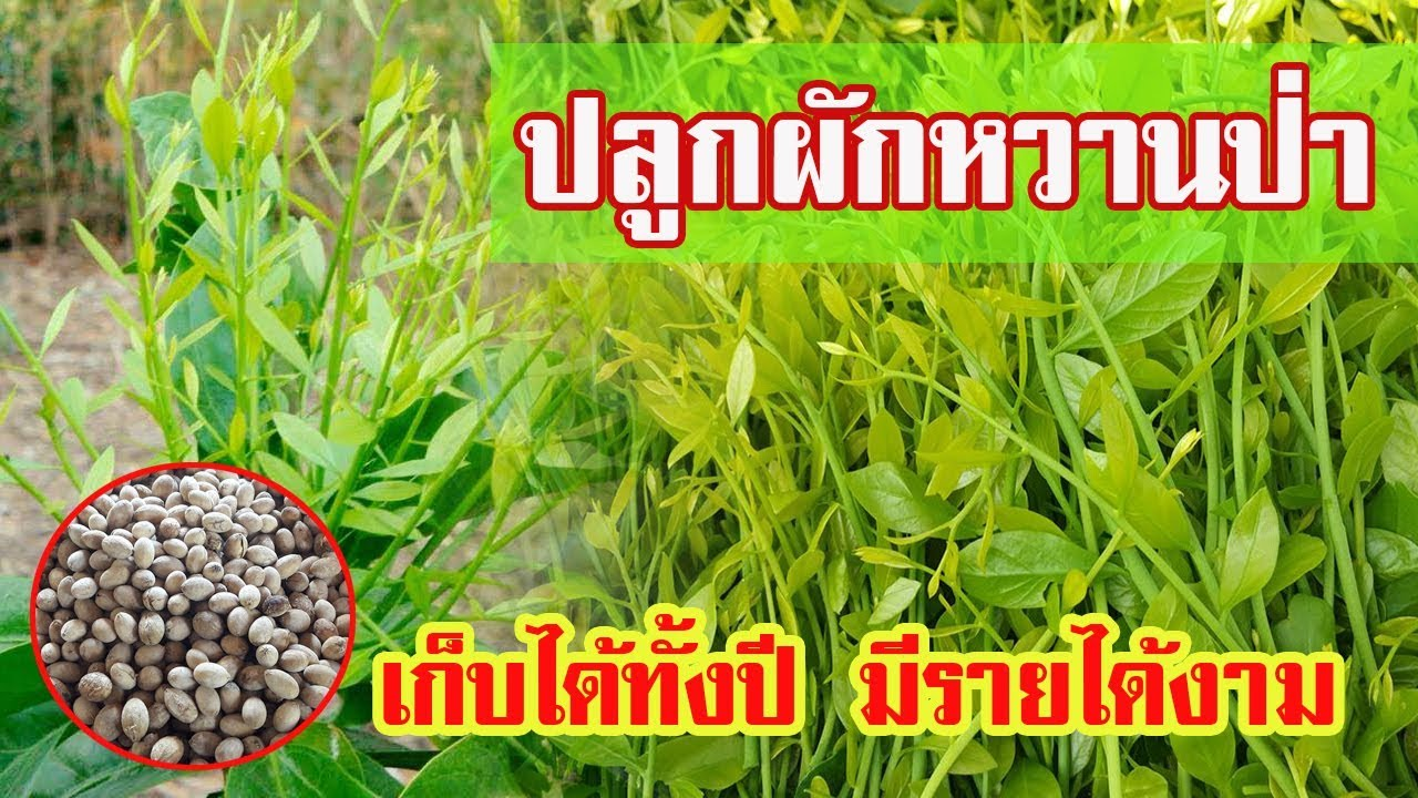 ปลูกผักหวานป่า | เก็บได้ทั้งปี มีรายได้งาม |