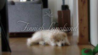 Koda the finnish lapphund